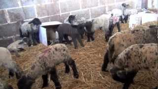 Lambing 2012 At Mill Farm TWO