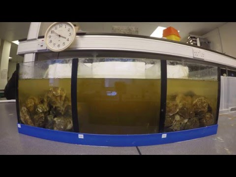 Oysters filtering water to clear