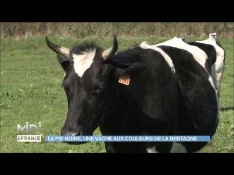 La Pie Noire, une vache aux couleurs de la Bretagne - YouTube