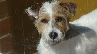 Jack Russel Terrier Wire Coat Rescue named Max!!!!!!!!!!! thumbnail
