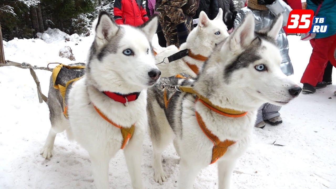 Вторые квест-гонки на собачьих упряжках