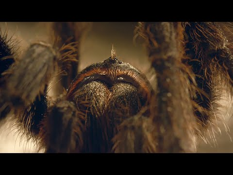 Tarantula Mating: dont lose your head!  Wild Patagonia  BBC Earth