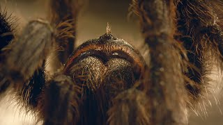Tarantula Mating: don't lose your head! | Wild Patagonia | BBC Earth thumbnail