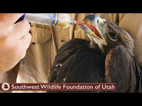 Young Golden Eagle Separated from Parents