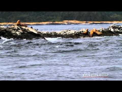 Steller Sea Lions Roaring off Coast of Friday Harbor - HD