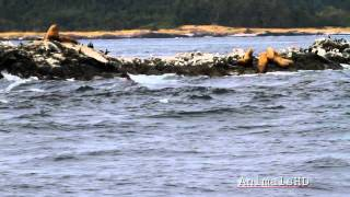 Steller Sea Lions Roaring off Coast of Friday Harbor - HD