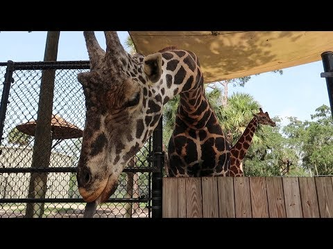 Having A Wild Day At The Central Florida Zoo | Feeding Giraffes, Seeing Snakes & Black Bears!