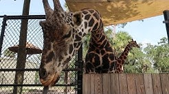 Having A Wild Day At The Central Florida Zoo   Feeding Giraffes, Seeing Snakes & Black Bears!