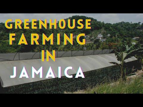 Greenhouse farming in Jamaica