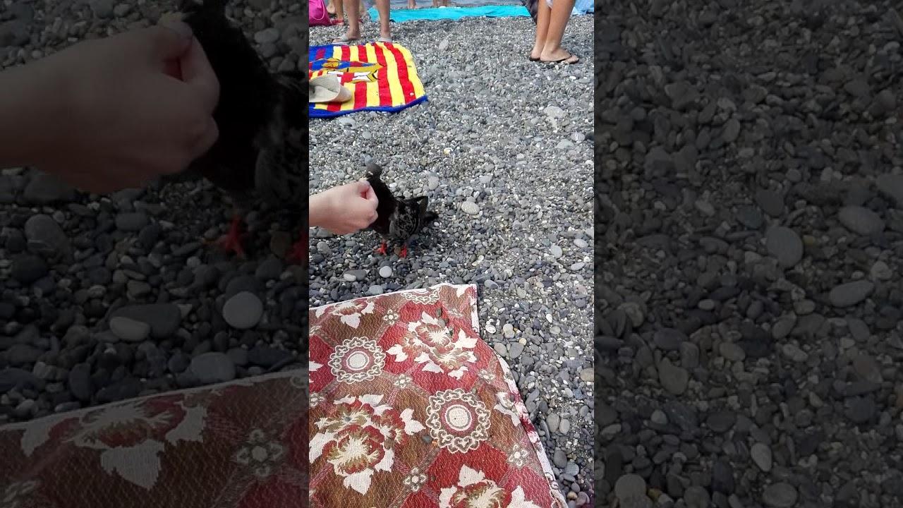 Ручные голуби на пляже в Адлере