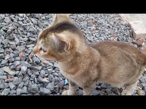 Black & Brown Cat
