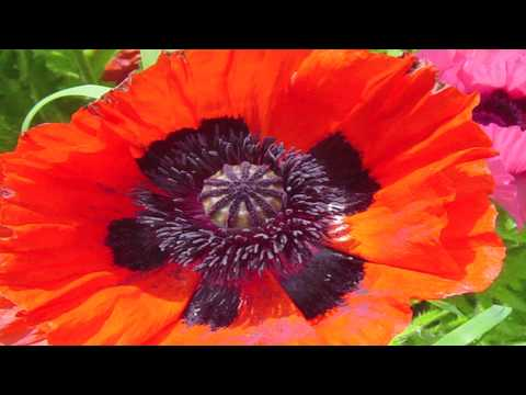 Gardening Lessons : Different Types of Poppy Plants