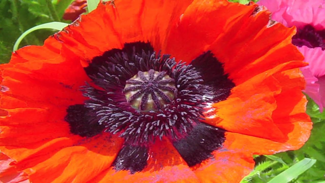 Gardening lessons different types of poppy plants youtube dhlflorist Images