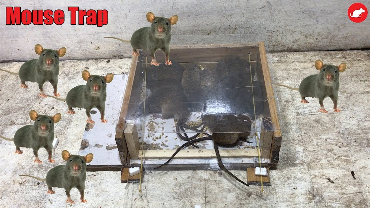 Glue Mouse Trap/How to make a Mouse Trap Homemade ...