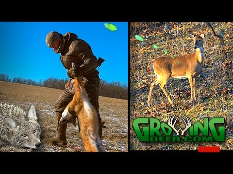 Our Best Predator Control Video Ever! We're Hunting And Trapping Coyotes (#375) @GrowingDeer.tv