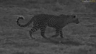 safarilive sunset safari nov 7 2017