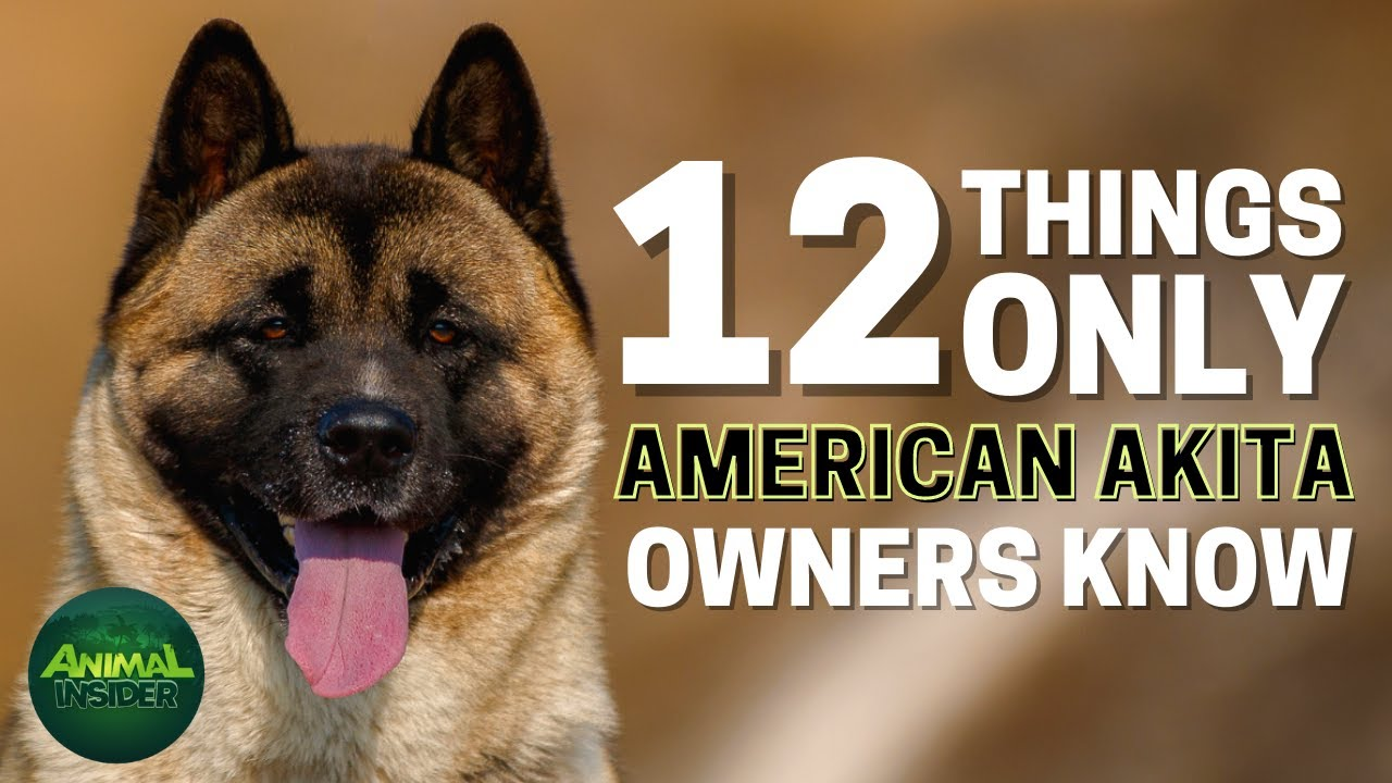 Download 12 Things Only American Akita Dog Owners Understand
