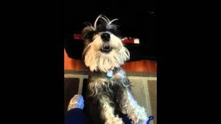Miniature Schnauzer Sings By Fiona Jackson