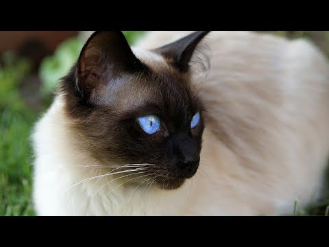 How to Care for a Siamese Cat - Providing Basic Care