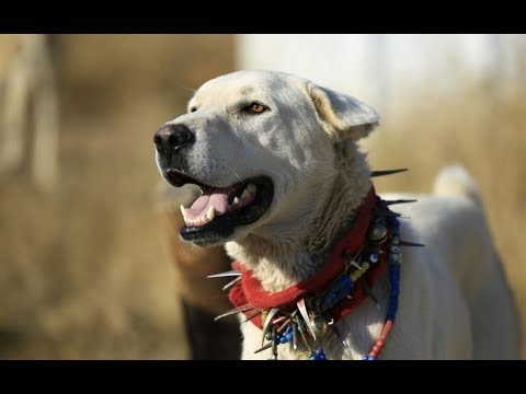 Akbaş Çoban Köpeği Özellikleri - osman çakır