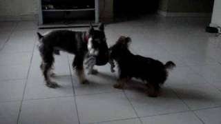 Schnauzer Vs. Yorkie... Bruno & Hailey Playing Tug Of War...
