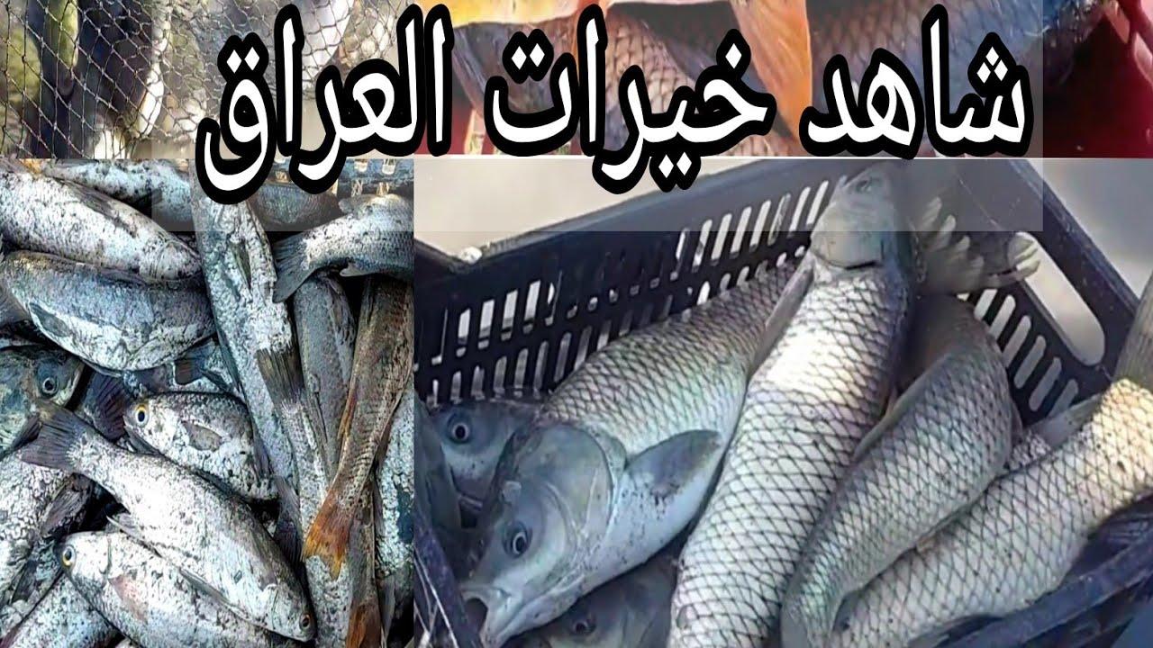 شاهد خيرات بحيرات سمك الكراز في العراق