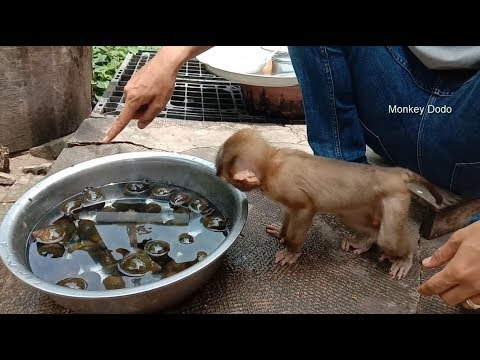 Really Interesting!!! Dodo Scaring Snails, Dodo Happy Play And Swimming In Pool
