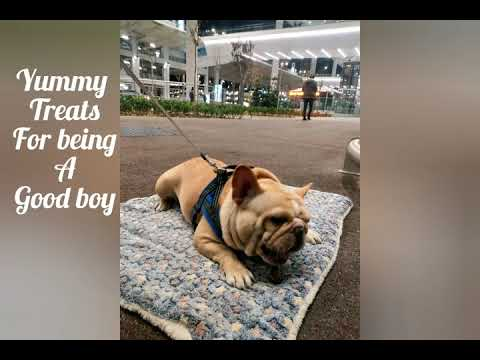 Turkish airline pet travel review- Shanghai to Miami with my French bulldog