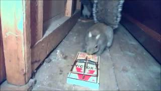 squirrel left retarded by rat trap