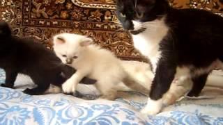 котята с мамой и папой