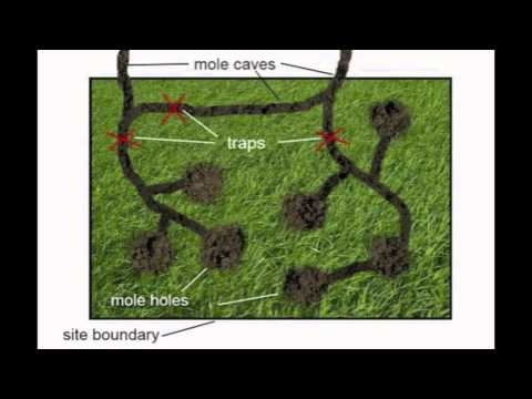 Lawn Mole Removal Home Remes You
