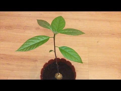 Авокадо из косточки. Как из косточки вырастить настоящее дерево.