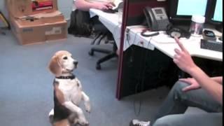 Дрессированая собака жрет рыбий жир