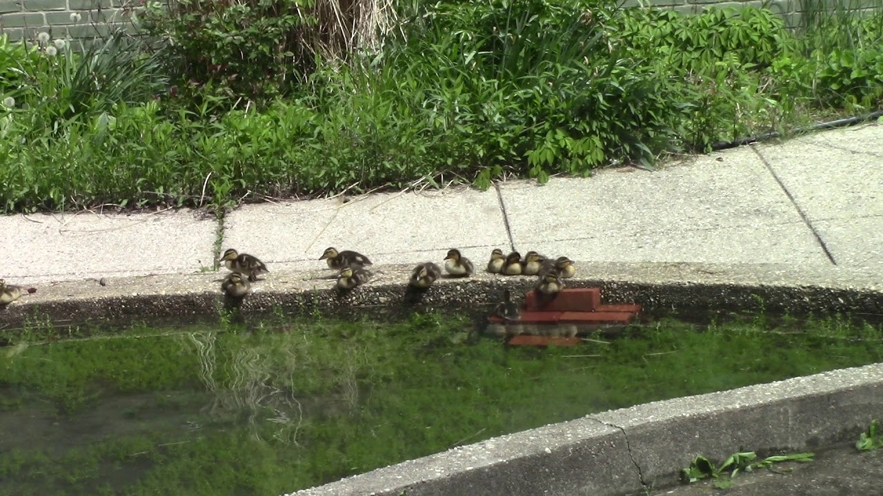 Rippowam Baby Ducks 5/14/18 Part 3