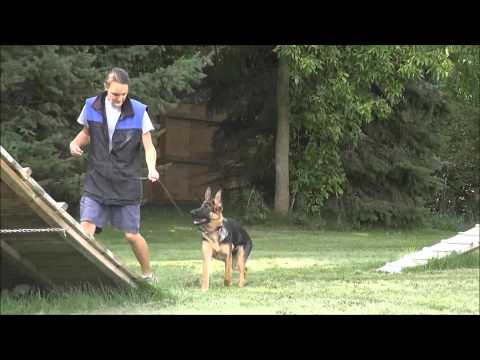 Celle (German Shepherd Dog) Puppy Camp Dog Training Video
