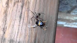 Avispa asiática VS araña gallega. Asían wasp