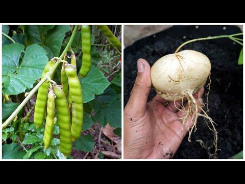 How To Grow Jicama   Cara Tanam Sengkuang