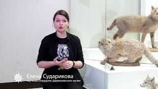 Манул | редкие и исчезающие виды животных России