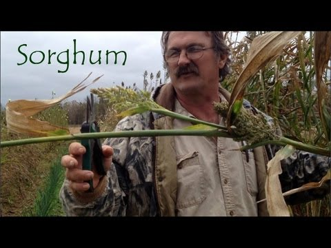 Sorghum : Growing and Harvesting