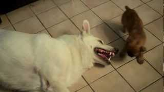 Little Puppy Harassing Big Dog Thumbnail