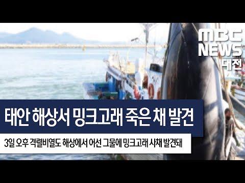[대전MBC뉴스]태안 격렬비열도 인근 해상서 밍크고래 죽은 채 발견