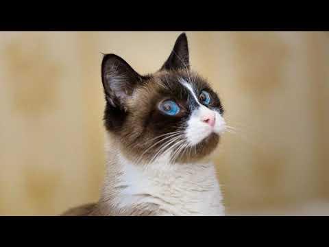 Добрая и любящая порода кошек - сноу шу!