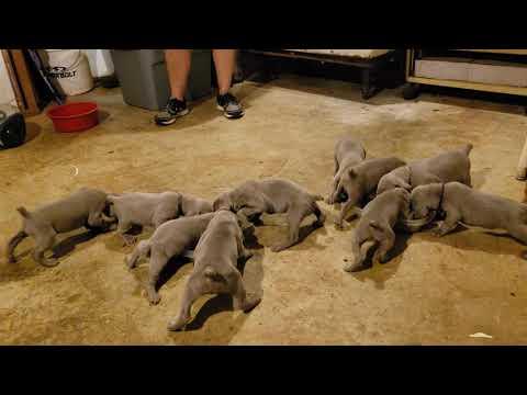 PuppyFinder.com : Weimaraner Pups 3