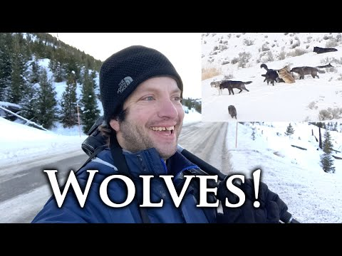 Watching WOLVES and Other Adventures: Yellowstone National Park Vlog. Part 2.