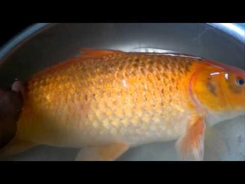 cá chép vàng lớn nhất Việt Nam .mp4