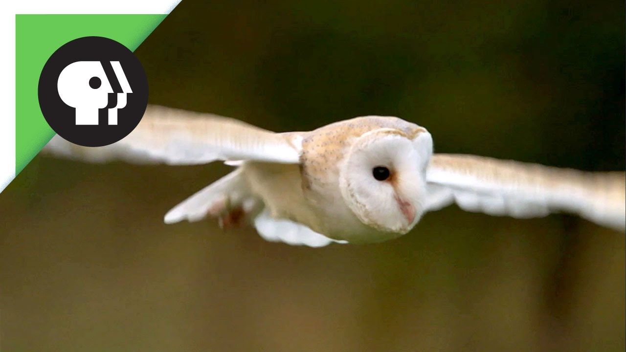 Owl Shows Off Silent Flight Superpower