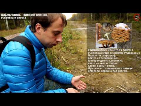 Осенние съедобные необычные грибы, www.grib.tv