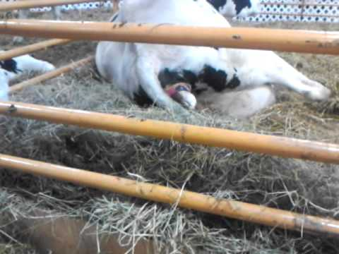 Cow gives birth at up state fair 2013