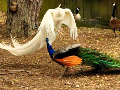 Điệu múa của đ6i chim công
