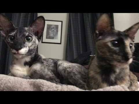 Real life gremlins.  Oriental Shorthair kittens